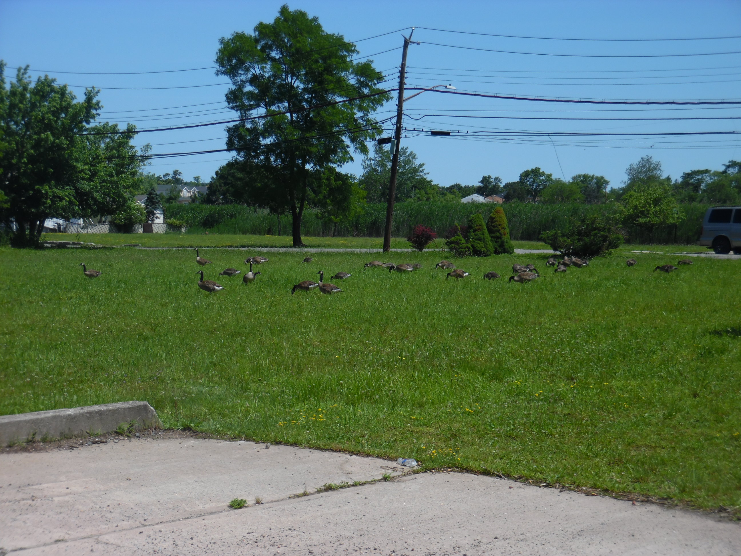 Paved driveway in foreground. Behind, Canada Geese on grass, trees, telephone wires. A house barely visible in the distance.