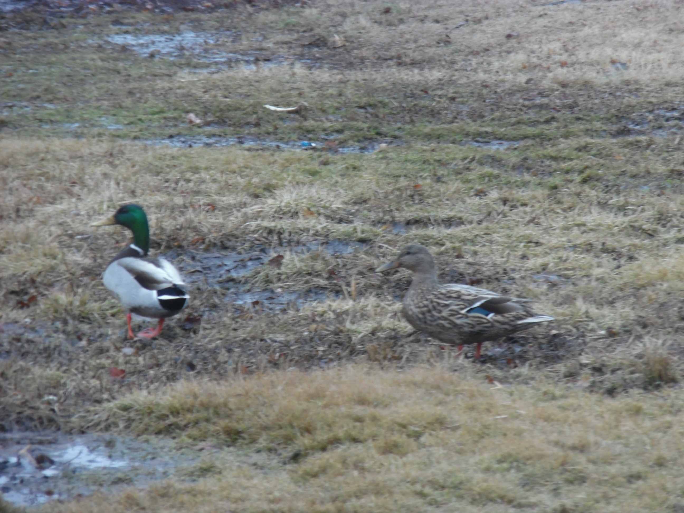 Two mallard ducks, on male and one female, on grass with puddles.
